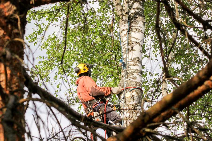 consulting arborist while inspecting a tree